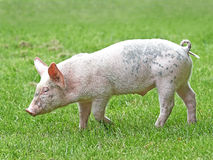 Domestic ecological pig (sus domesticus) Stock Images