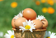 Domestic eggs Stock Images