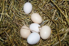 Domestic eggs Royalty Free Stock Photos