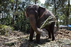 Domestic Elephant Royalty Free Stock Photography