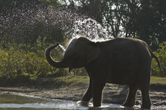 Domestic elephant bathing in Nepal Royalty Free Stock Images