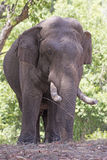 Domestic Elephant in the Forest Stock Photography