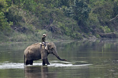 Domestic elephant with its mahout at Bardia, Nepal Royalty Free Stock Images