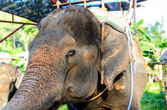Domestic elephant Royalty Free Stock Images
