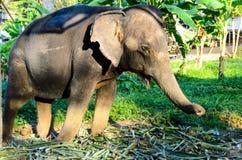 Domestic elephant Stock Photography