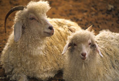 Domestic Ewe Sheep and Lamb. A domestic sheep ewe laying next to her lamb royalty free stock photo