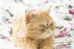 Domestic exotic cat. Beautiful domestic exotic cat laying on colorful bed linen, close up Royalty Free Stock Photos