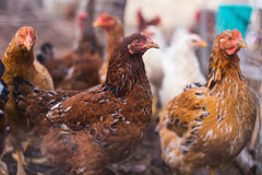 Domestic farm chicken. Domestic chickens in a farm. Traditional free range poultry farming Royalty Free Stock Photo