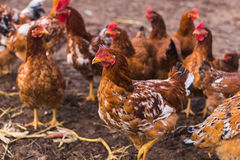 Domestic farm chicken. Domestic chickens in a farm. Traditional free range poultry farming Royalty Free Stock Photos