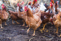 Domestic farm chicken. Domestic chickens in a farm. Traditional free range poultry farming Stock Image