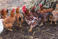 Domestic farm chicken. Domestic chickens in a farm. Traditional free range poultry farming Royalty Free Stock Image