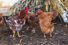 Domestic farm chicken. Domestic chickens in a farm. Traditional free range poultry farming Stock Photography
