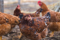 Domestic farm chicken. Domestic chickens in a farm. Traditional free range poultry farming Stock Images