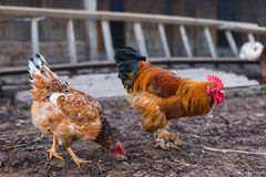 Domestic farm chicken Royalty Free Stock Photos