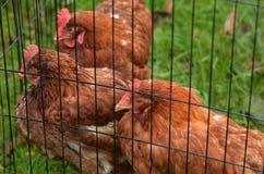 Domestic farm chicken Stock Photos