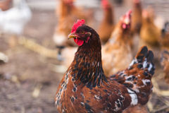 Domestic farm chicken. Domestic chicken in a farm. Traditional free range poultry farming Stock Photos