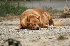 Fat happy dog. Domestic fat dog happy dog stock photo