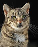 Domestic female cat. Posing in black background stock photo