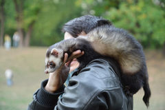 Domestic ferret with his owner Royalty Free Stock Images