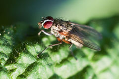 Domestic fly macro Stock Photos