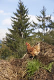 Domestic fowl. Free range domestic fowl on dunghill at farm in Austria Royalty Free Stock Image