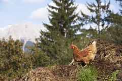 Domestic fowl. Free range domestic fowl on dunghill at farm in Austria Stock Images