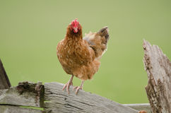Domestic fowl Royalty Free Stock Photography