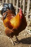 Domestic fowl. Presenting itself proudly stock photo