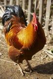 Domestic fowl Stock Photo