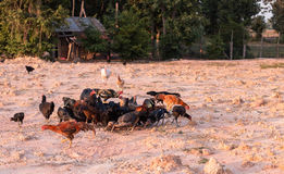 Domestic fowl. Farm Domestic fowl in Thailand Royalty Free Stock Images
