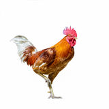 Domestic fowl isolated. Domestic fowl, beautiful cock isolated standing with white background Stock Photography