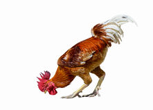 Domestic fowl isolated. Domestic fowl, beautiful cock isolated standing with white background Stock Image