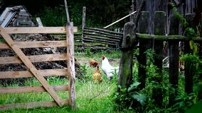 Domestic fowl walk on country backyard stock footage
