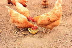 Domestic Free Range Chickens Royalty Free Stock Photos