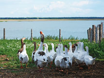 Domestic geese Stock Image