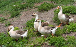 Domestic geese. (anser anser domesticus) walking on green grass Stock Photos