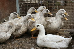 Domestic geese. A flock of white geese in the home cage poultry Royalty Free Stock Photography