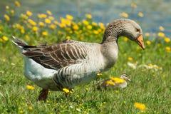 Domestic Goose in the Wild stock photos