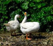 Domestic geese Anser anser domesticus  near the pond on a lovely summer day. Domestic geese Anser anser domesticus near the pond on a lovely summer day stock photos