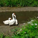 Domestic geese Anser anser domesticus  near the pond on a lovely summer day.  royalty free stock photos