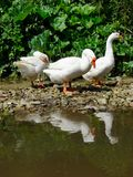 Domestic geese Anser anser domesticus  near the pond on a lovely summer day.  stock images