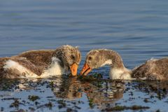 Domestic geese chicks on the lake Royalty Free Stock Photo