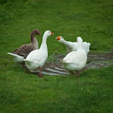 Domestic geese drinking water from puddle Stock Photo