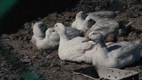 Domestic geese on the farm.  stock video