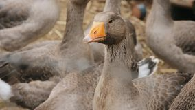 Domestic geese on a farm closeup. Domestic geese on a farm. Close-up domestic geese on a farm, slow-motion video stock footage