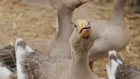 Domestic geese on a farm closeup. Geese gaggle looking into the camera. Close-up domestic geese on a farm, slow-motion video stock video