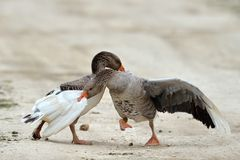 Domestic geese fighting outdoor Stock Image