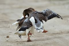 Domestic geese fighting outdoor Stock Images