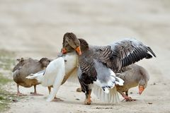 Domestic geese fighting outdoor Royalty Free Stock Photo