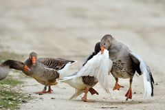 Domestic geese fighting outdoor Royalty Free Stock Photography